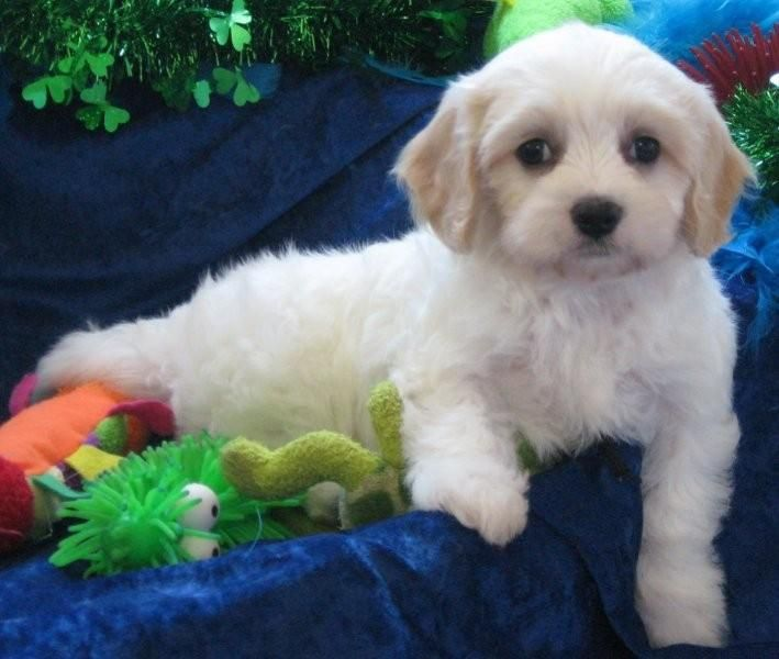 I Just Love Apricot White Cavachon Puppies I Think This Will Be My Next Breed Of Puppy I Get Cavachon Puppies Cavachon New Puppy
