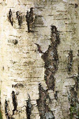 BARK OF BETULA PENDULA