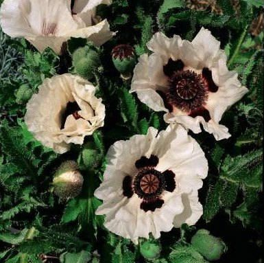1000 bulk poppy seeds papaver checkers bulk poppy seeds bulk buy poppy seeds from outsidepride papaver orientale checkers is a beautiful poppy grown from flower seeds mightylinksfo