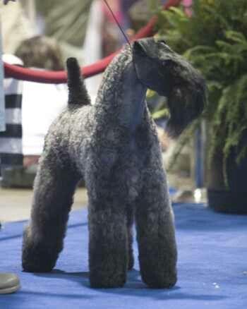 Kerry blue terrier----beautiful grooming!
