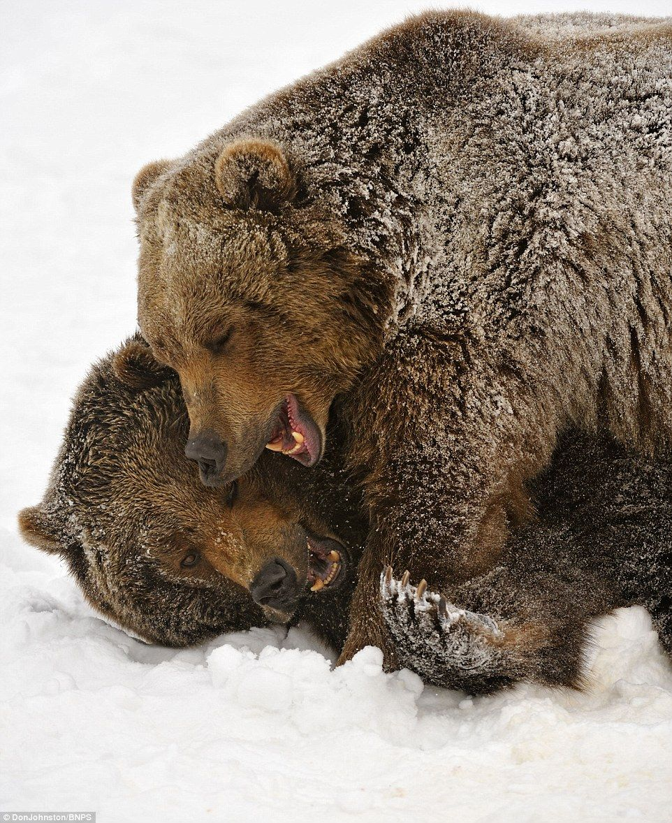 Grizzly bears use judolike moves while playfighting in