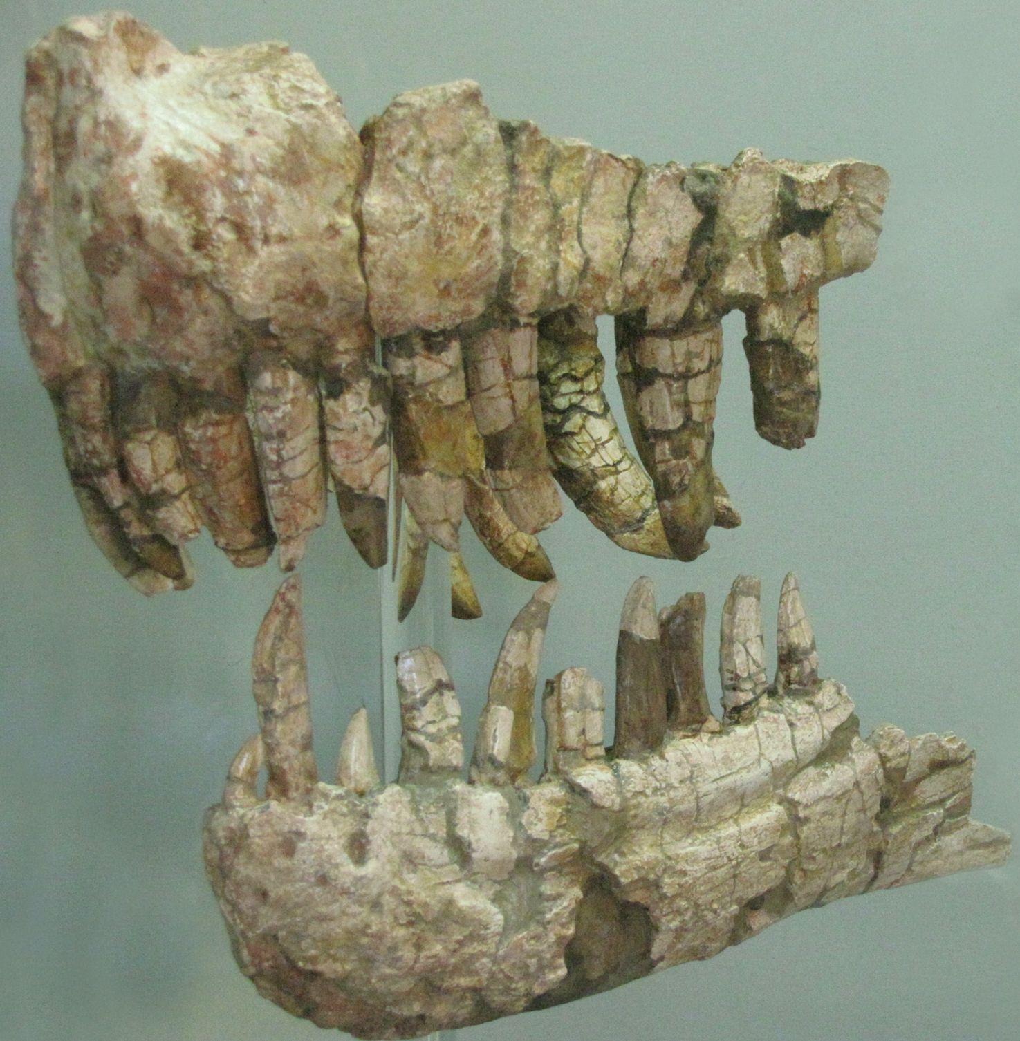 Genyodectes_saurus_jaws.jpg (1475×1506) - Holotype. Auteur : Patricia Cursio. 2009