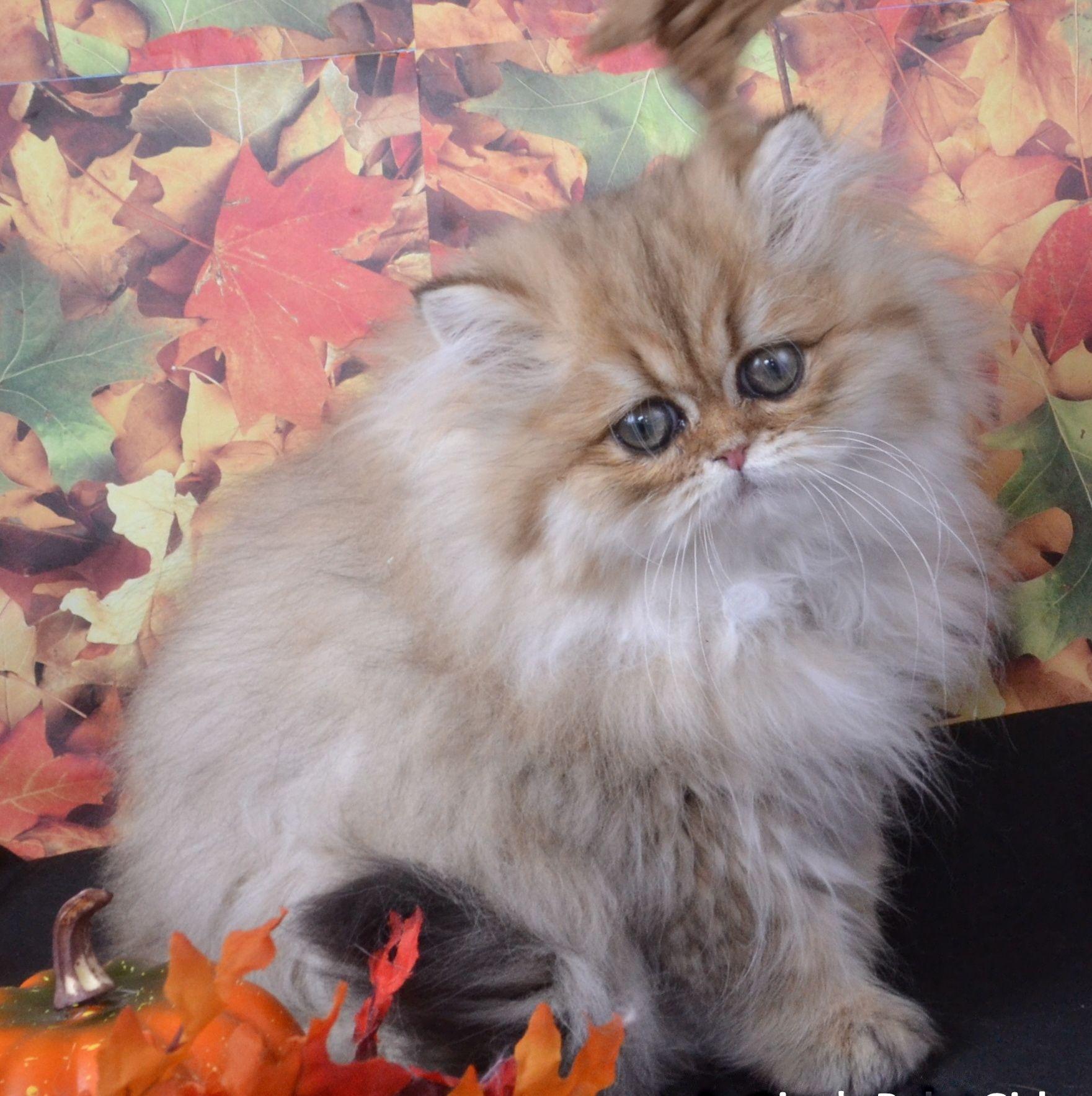 Dollface Persian Kitten [Baby Persians][Tea Cup Persian Kittens