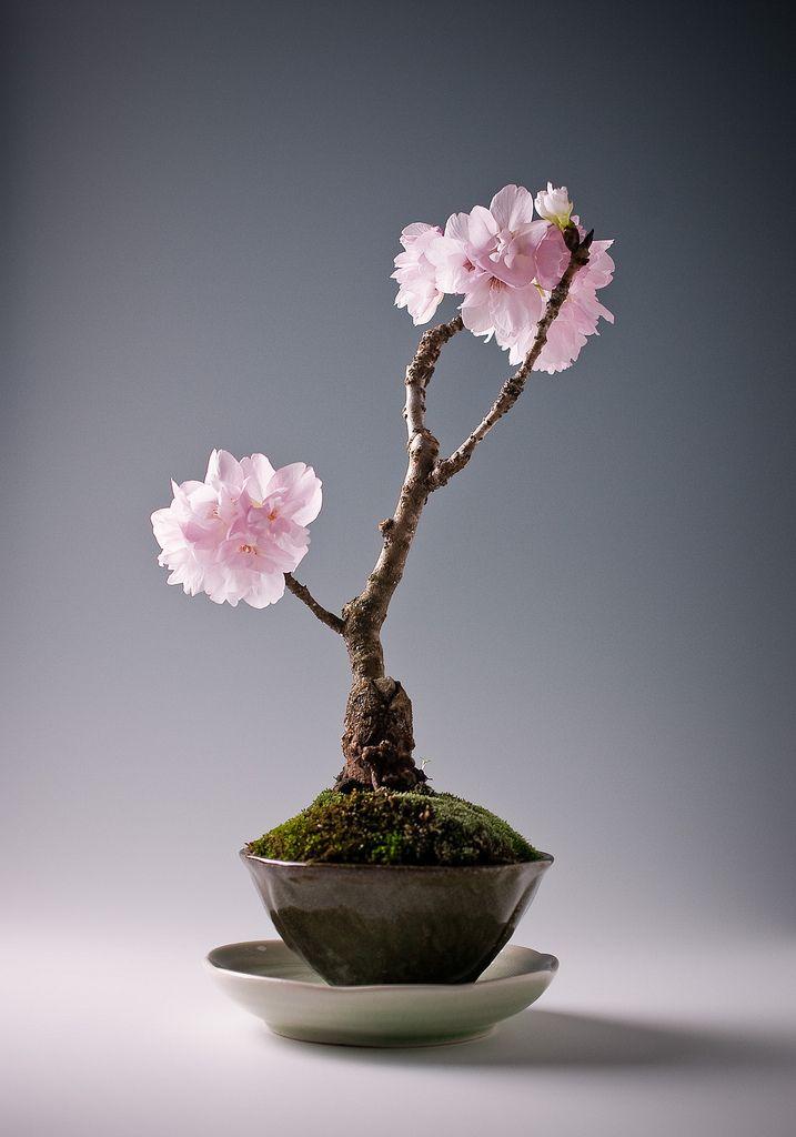 Sakura 7 Bonsai Flower Buy Bonsai Tree Flowering Bonsai Tree