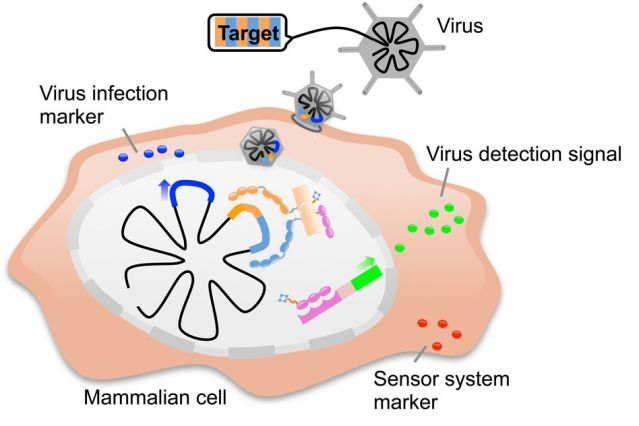2015 - Biological engineers have developed a modular system of proteins that can detect a particular DNA sequence in a cell and then trigger a specific response, such as cell death. This system can be customized to detect any DNA sequence in a mammalian cell and then trigger a desired response.