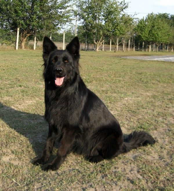 Solid Black German Shepherd Dog With Images Shepherd Puppies Shepherd Dog Breeds German Shepherd Puppies