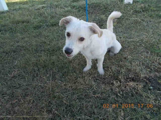 FRITZ (A1677014) I am a male white and yellow Terrier mix. The shelter staff think I am about 1 year and 6 months old. I was found as a stray and I may be available for adoption on 02/07/2015. — hier: Miami Dade County Animal Services. https://www.facebook.com/urgentdogsofmiami/photos/pb.191859757515102.-2207520000.1422866632./921455251222212/?type=3&theater