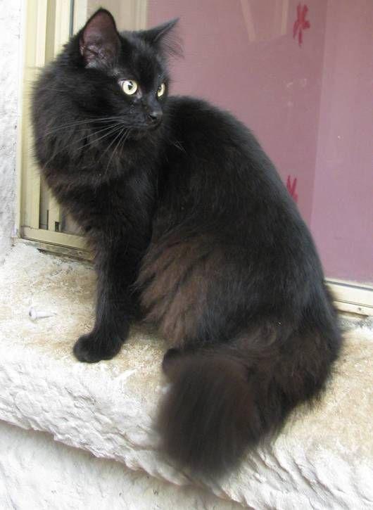 Longhair Black Siberian Cat Pictures Siberian Pinterest Cats
