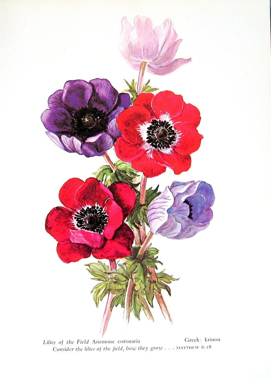 Anemone, Lilies of the Valley, Vintage 1957 Botanical