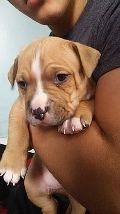 Pitbull Puppies Pet Dog Puppies For Sale In West Haven Ct A00001