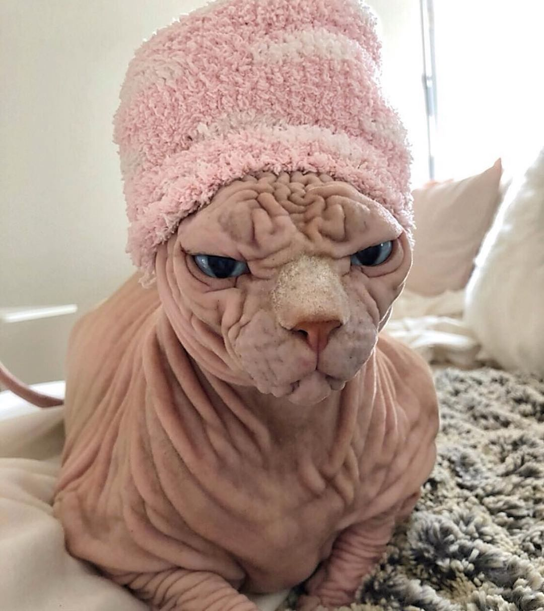 Pin By Toni Smith On 1sphynx Cute Cat Wallpaper Sphynx Cat Cat Care
