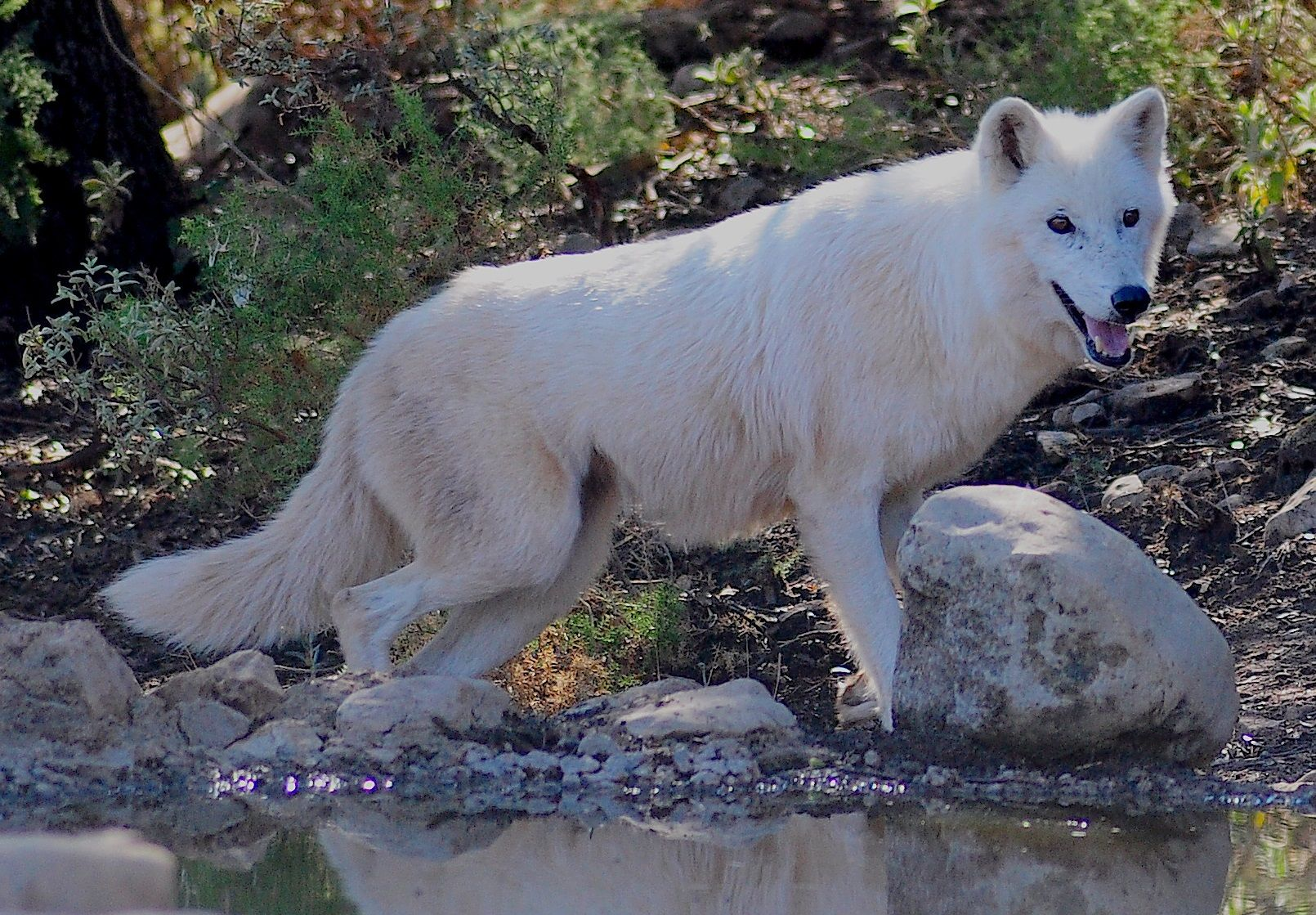 Alaskan Tundra Wolf Wikipedia The Free Encyclopedia Starwoors
