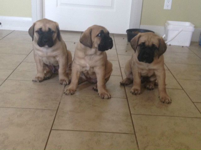 English Bull Mastiff Puppies Dogs Puppies For Sale St