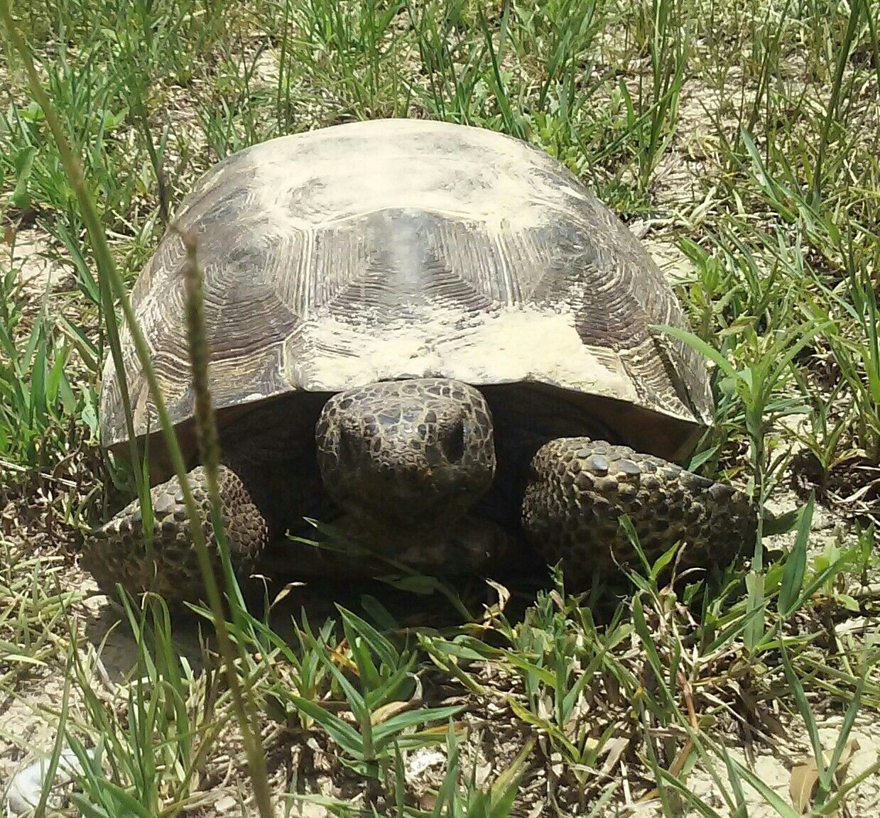 Gopher Tortoise in my yard on the Nature Coast, Florida