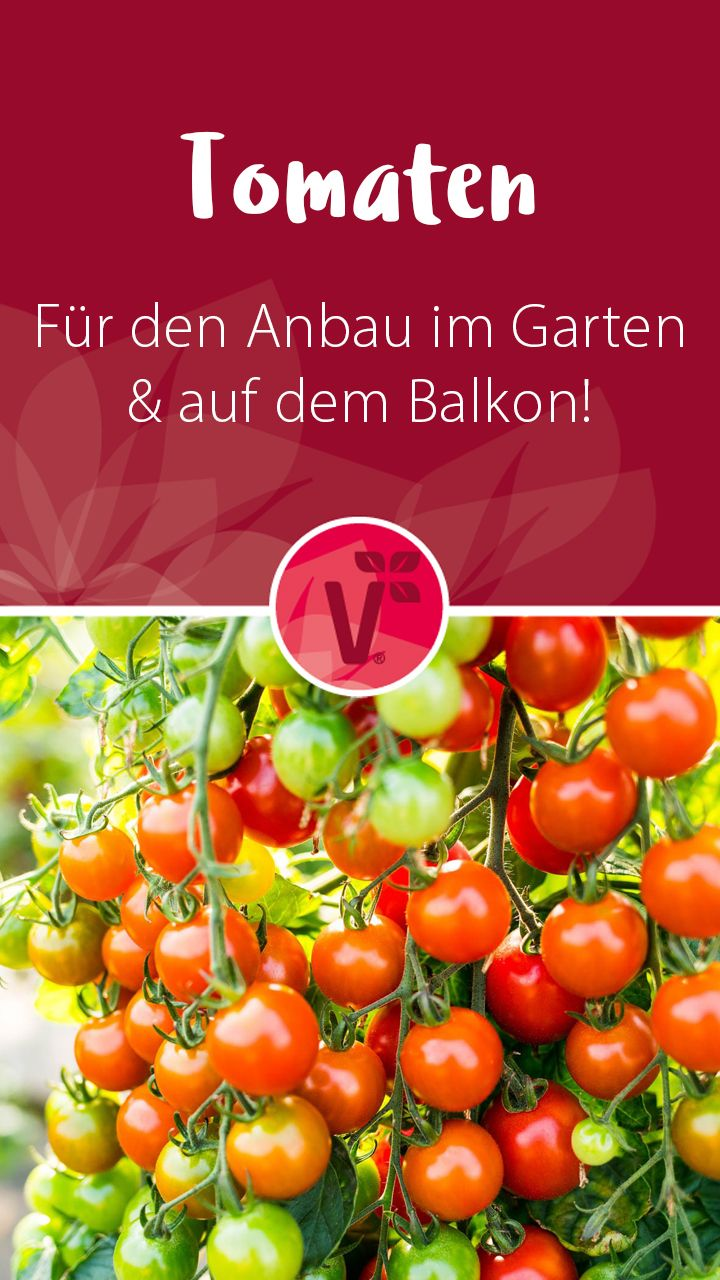 Tomaten im Garten pflanzen