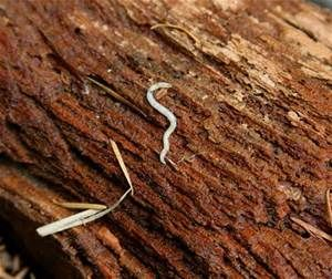 Small White Worms Bing Images Health Of Pets White