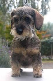 """Résultat de recherche d'images pour """"miniature wire haired dachshund"""""""