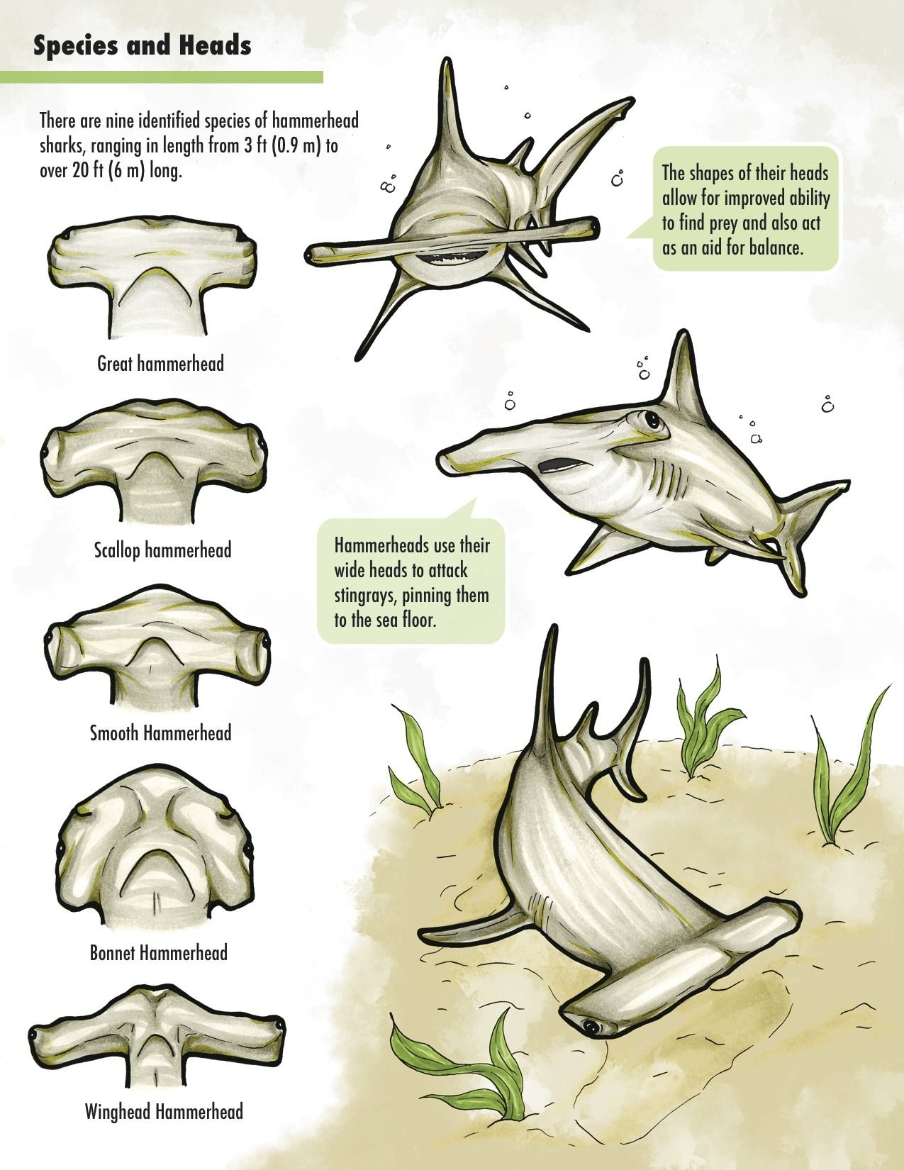 hight resolution of hammerhead shark chart