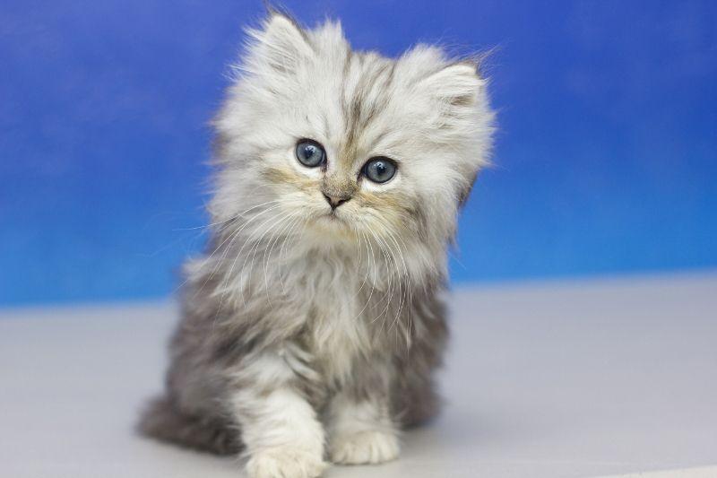 Cosmic Silver Tabby Male Ragamuffin Kitten Ragamuffin Kittens Ragamuffin Cat Cute Baby Animals