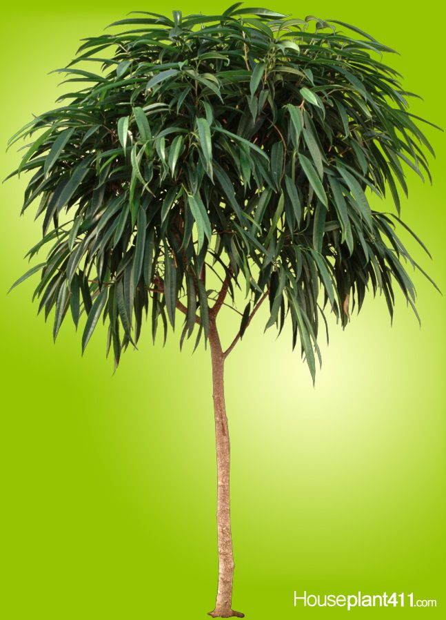 Ficus Alii #houseplants have hundreds of long, narrow ...