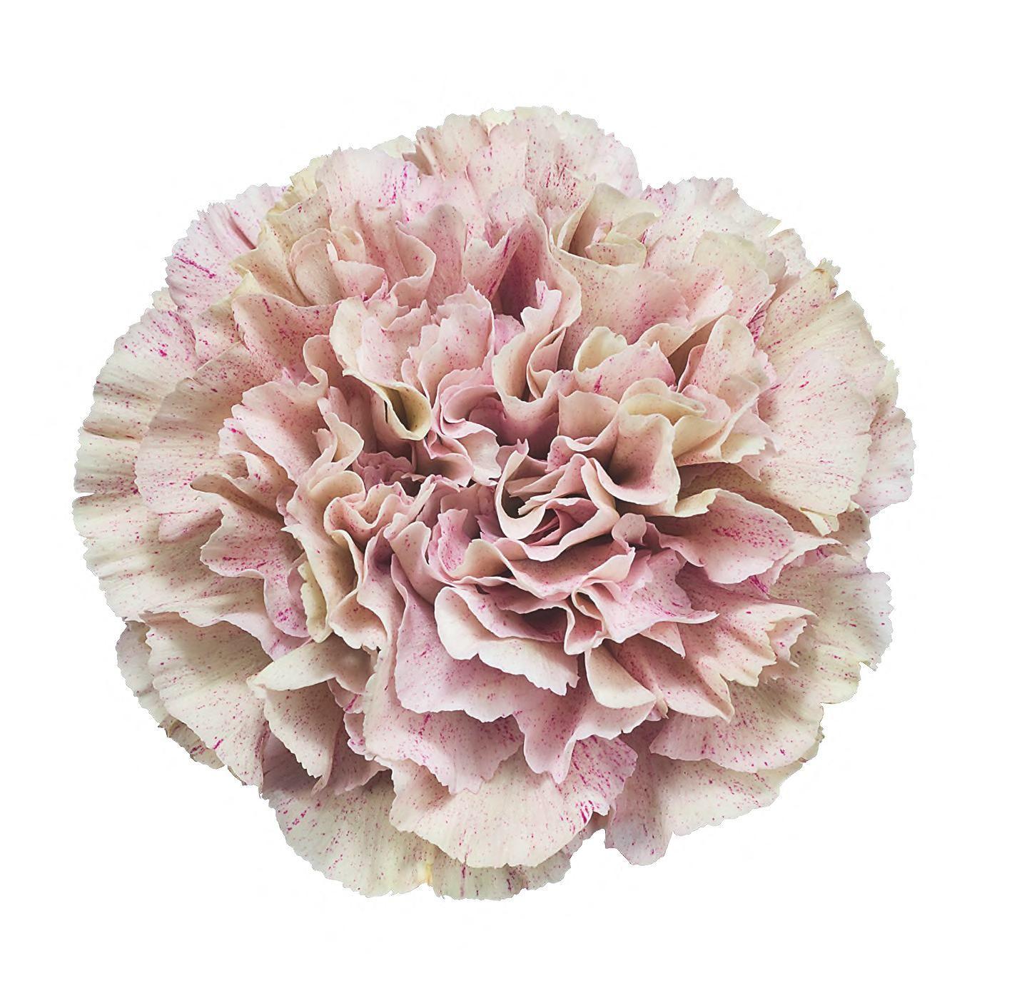 Babylon Carns White Flower Png Carnations Floral Design