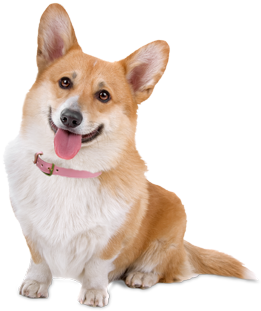 Corgi Puppies Dogs For Adoption Corgi Dog Breed Corgi Pembroke Corgi Dog