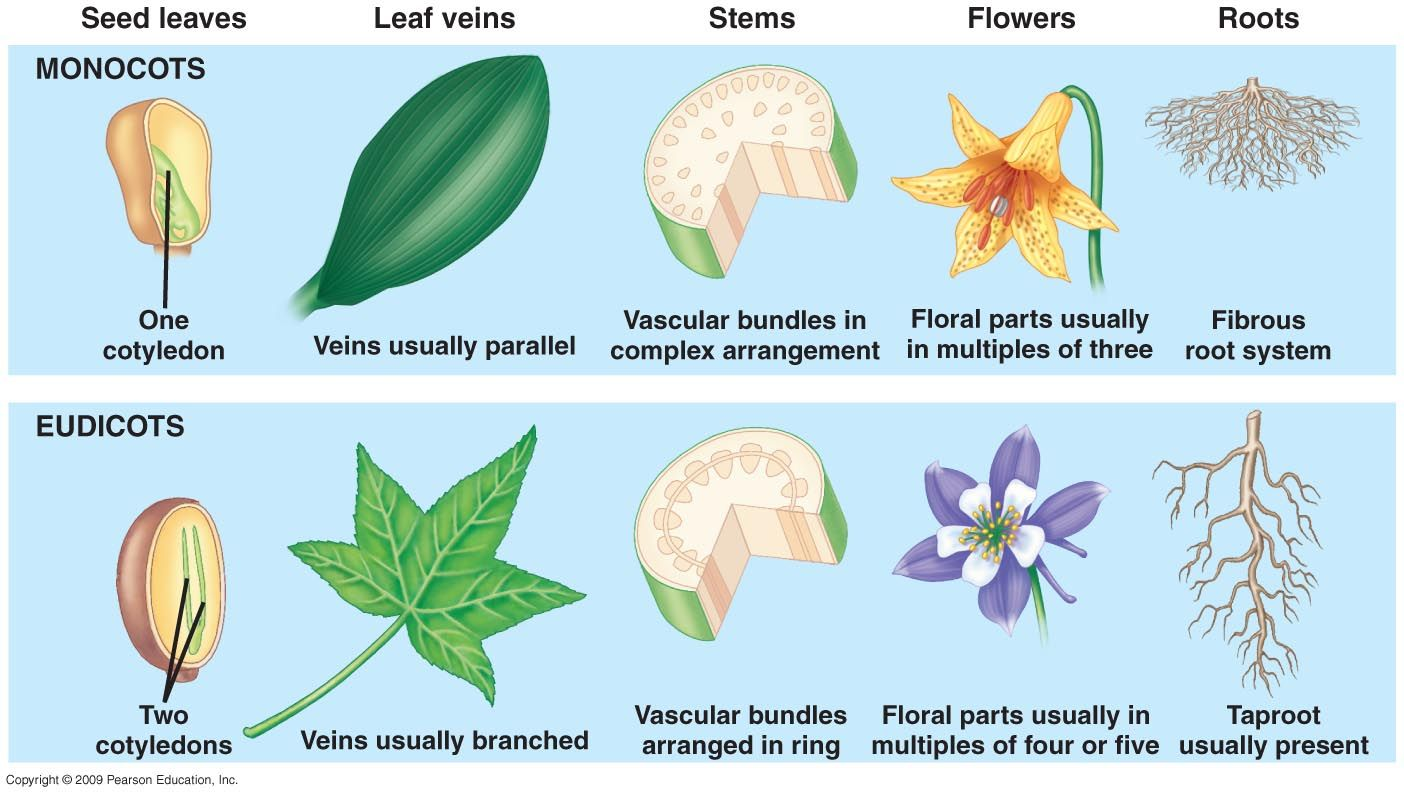hight resolution of types of seed plants monocots and dicots