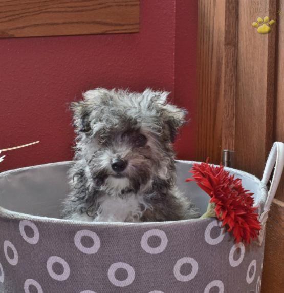 Fido Havachon Puppy For Sale In Sugarcreek Oh Lancaster Puppies