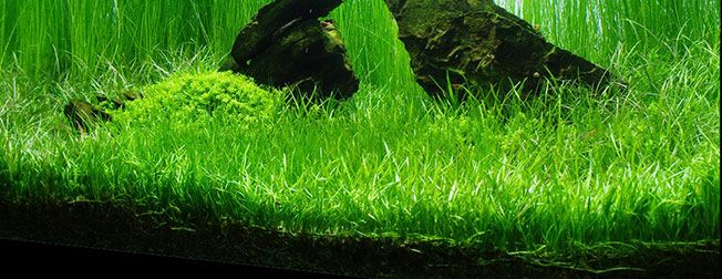Micro sword a beautifully carpeting freshwater aquarium for Freshwater pond plants