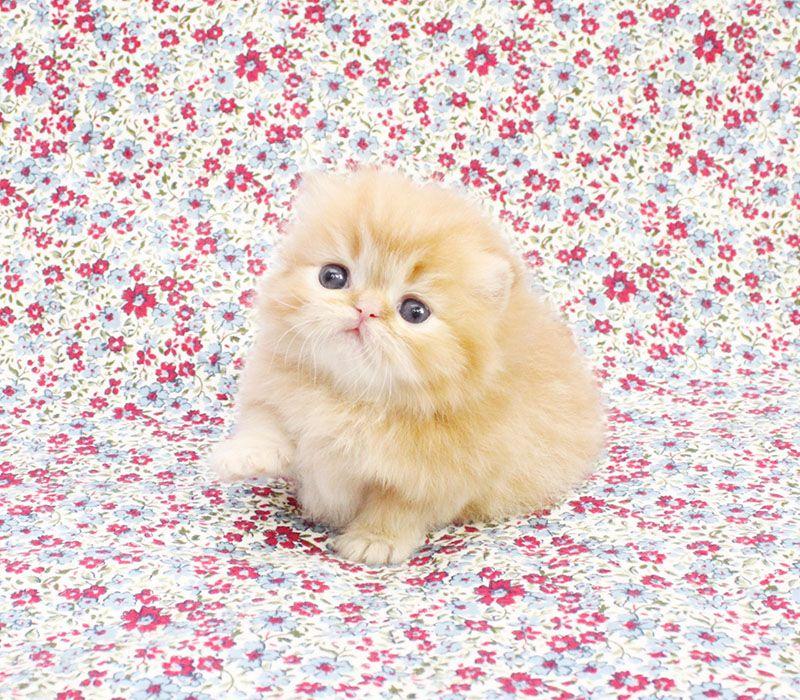 Persian kittens for sale (画像あり) ねこ かわいい, かわいい, ねこ