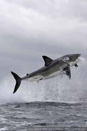 Great White Shark Breach At False Bay Great White Shark White