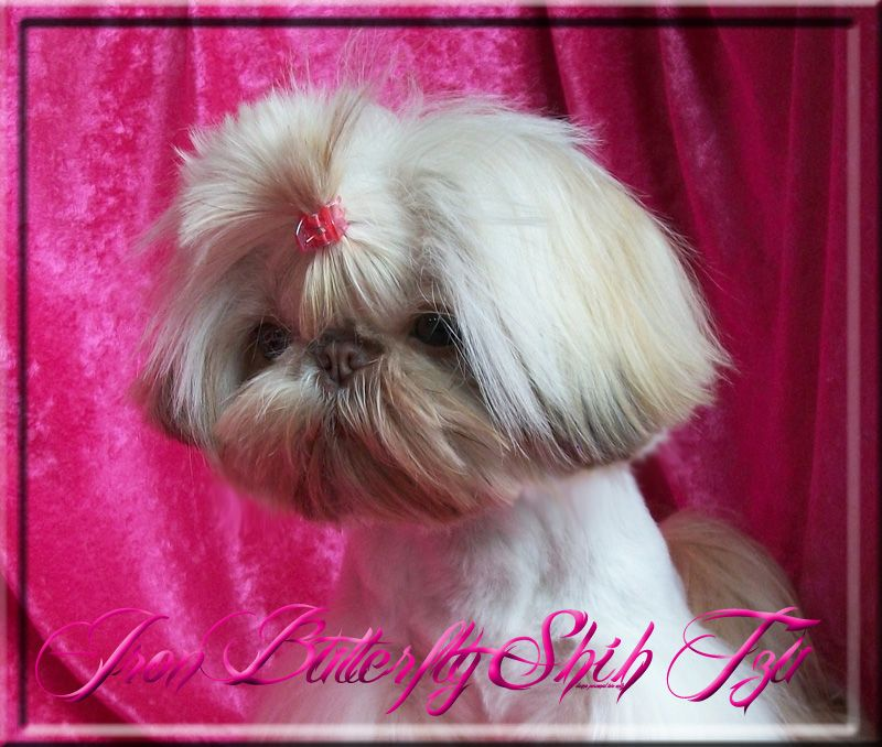 Quality Chinese Imperial Shih Tzu And Tiny Teacup Puppies For Sale Here Health Sweet Temperament And Stunning Teacup Puppies Teacup Puppies For Sale Shih Tzu
