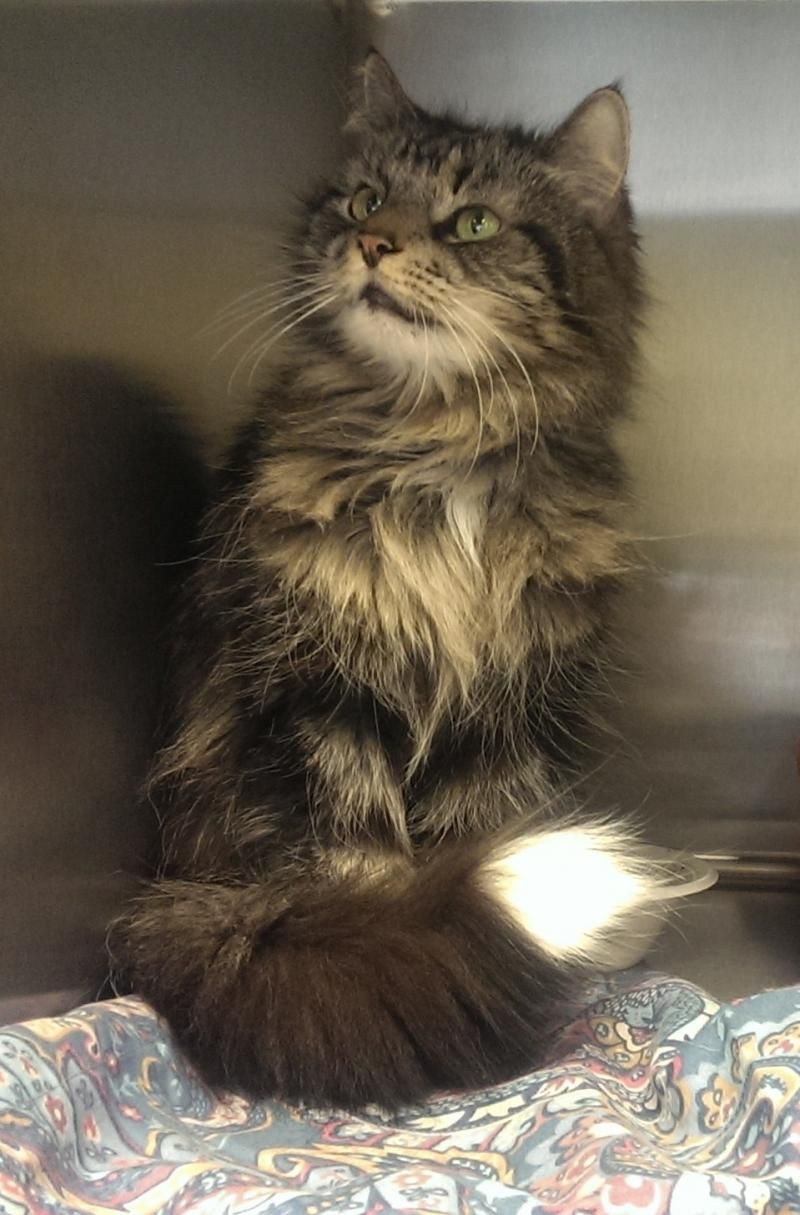 Adopt Lynx On Pet Adoption Center Cat Adoption Dog Adoption