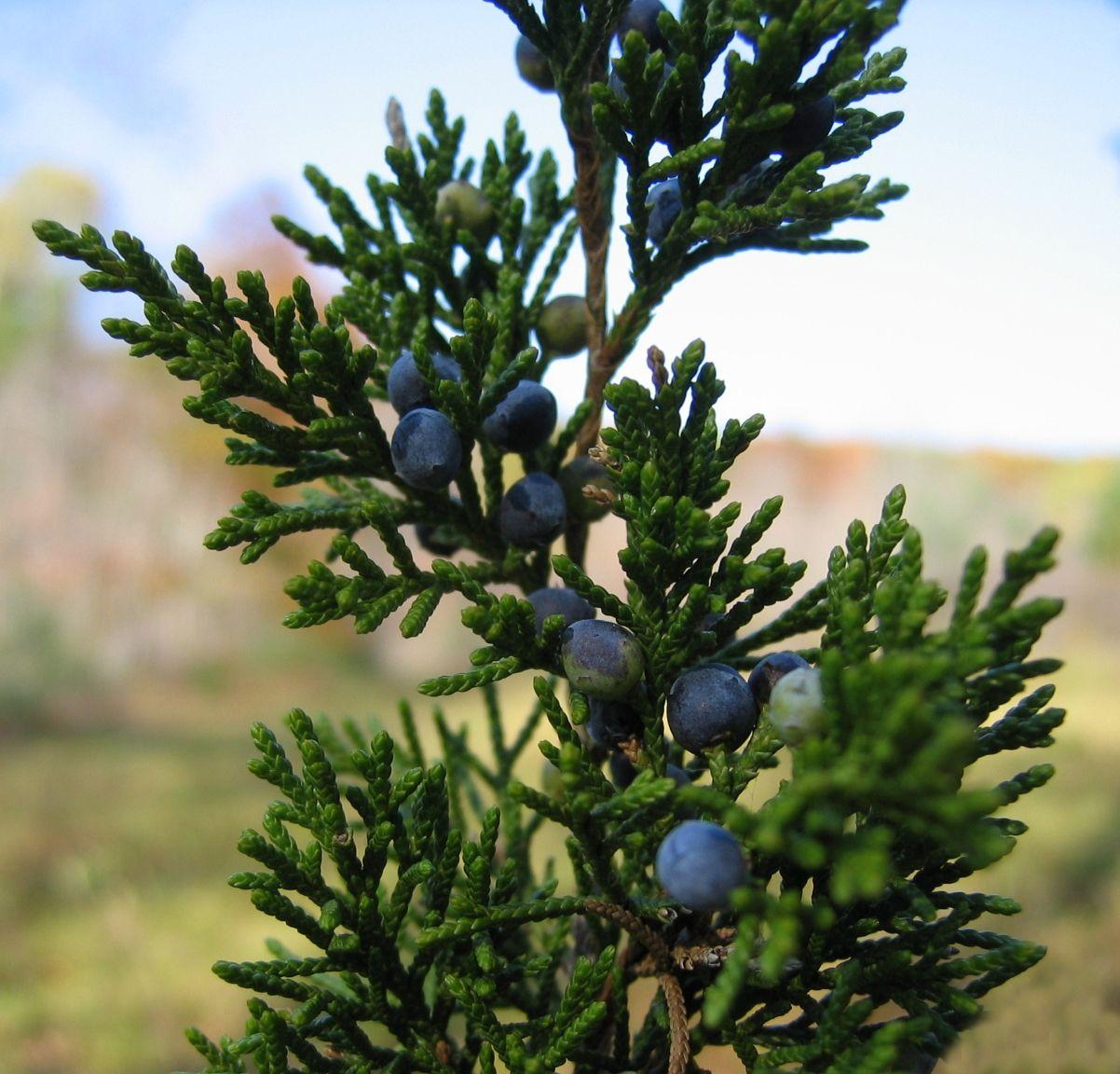 juniperus virginiana cheiro de natal coníferas pinterest