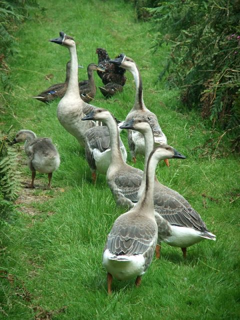 Chinese geese are both gentle and make great watchdogs for other poultry. Their call is loud and will alert you and your hens of any predators.