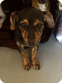 Pictures Of Darcy A Dachshund Chihuahua Mix For Adoption In