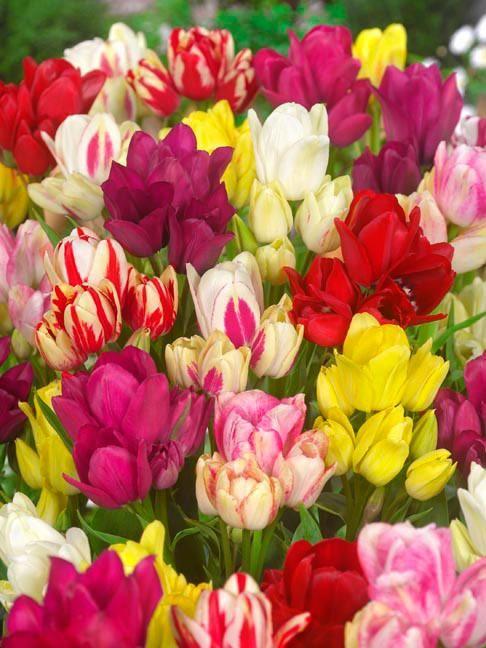 Multi Flowering Tulip Collection Spring Garden Flowers Bulb Flowers Fall Bulbs