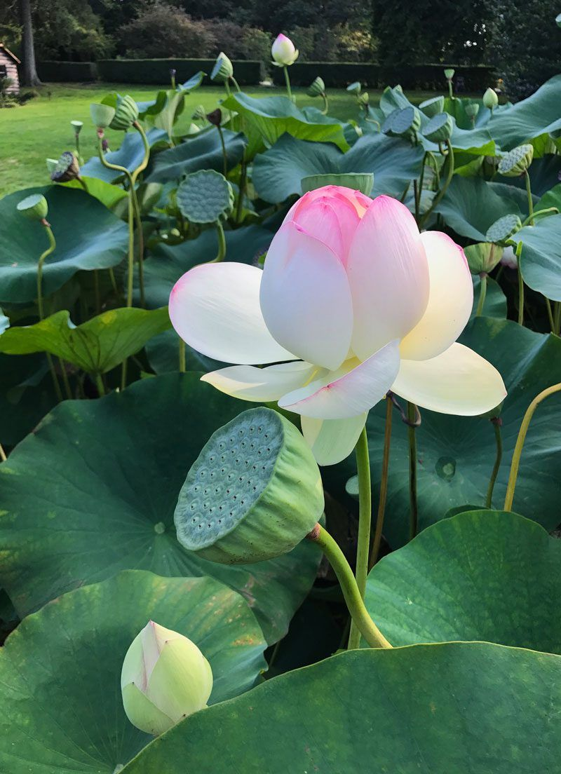 National Flower Of India Is Lotus Really Very Beautiful