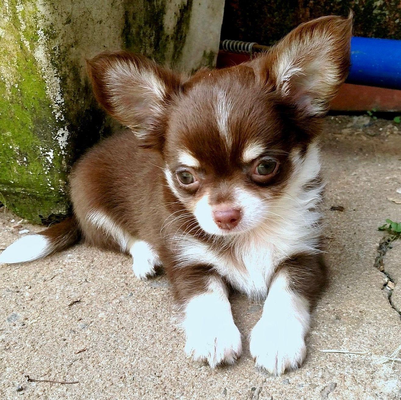 Pin By Rhonda Noland On Chihuahua Cute Chihuahua Cute Animals