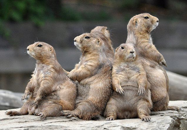 Prairie Dogs in Arizona Just chillin' 愉快な動物, 動物, プレーリードッグ