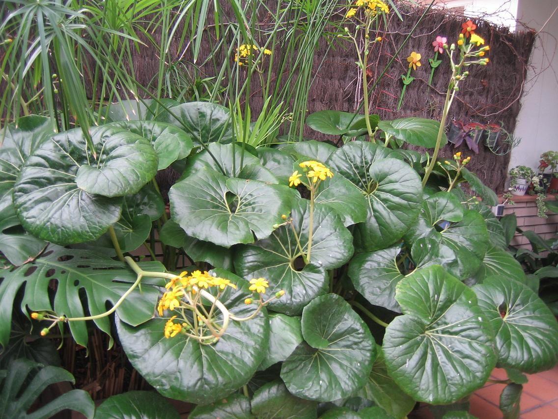 farfugium japonicum o boina de vasco 6df82c5b5a3