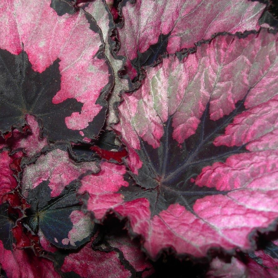 Fotos Viveros Vangarden Begonia Rex Titica Begonia Little