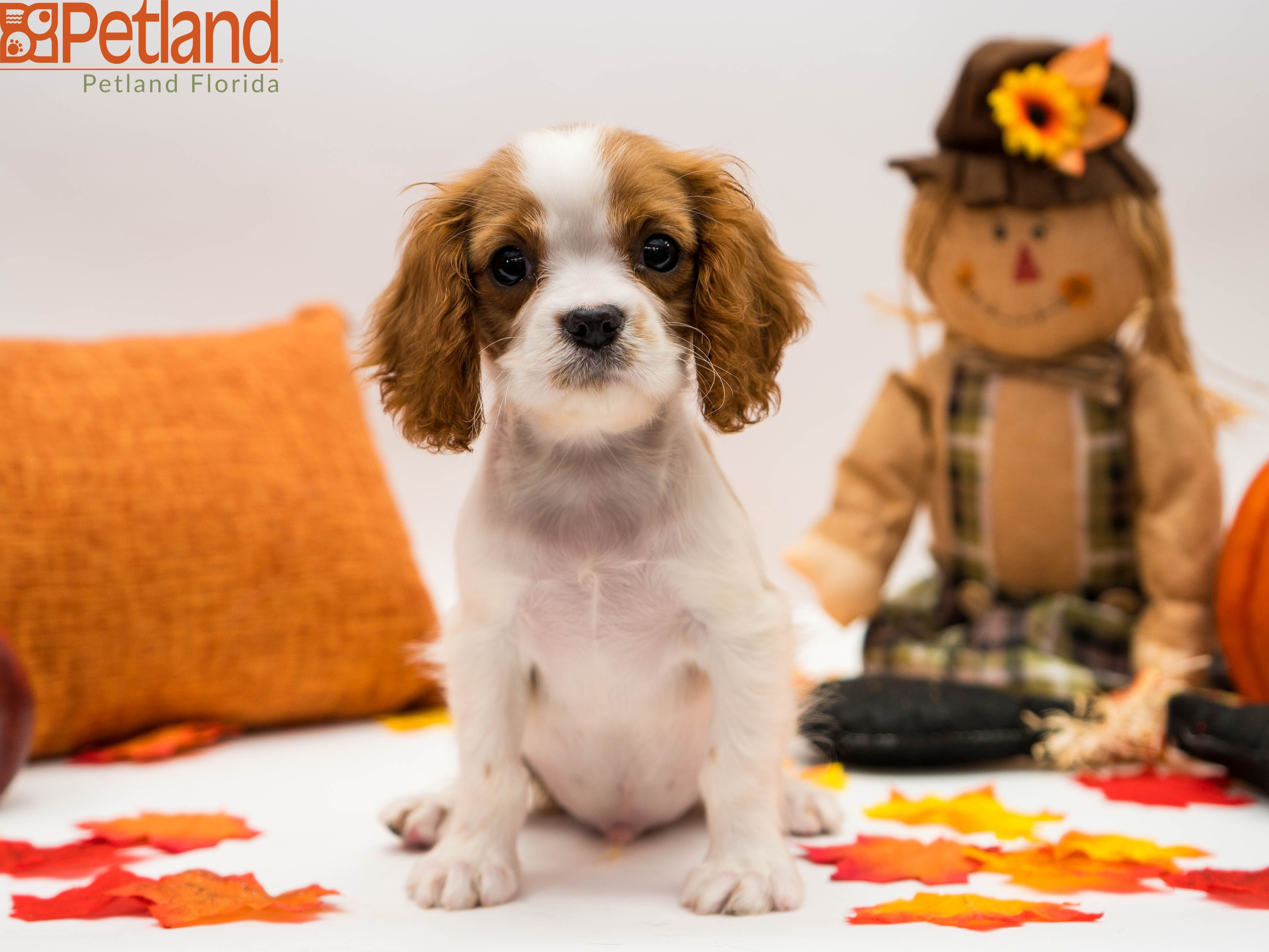 Puppies For Sale King Charles Cavalier Spaniel Puppy Puppy Friends Cavalier King Charles Spaniel