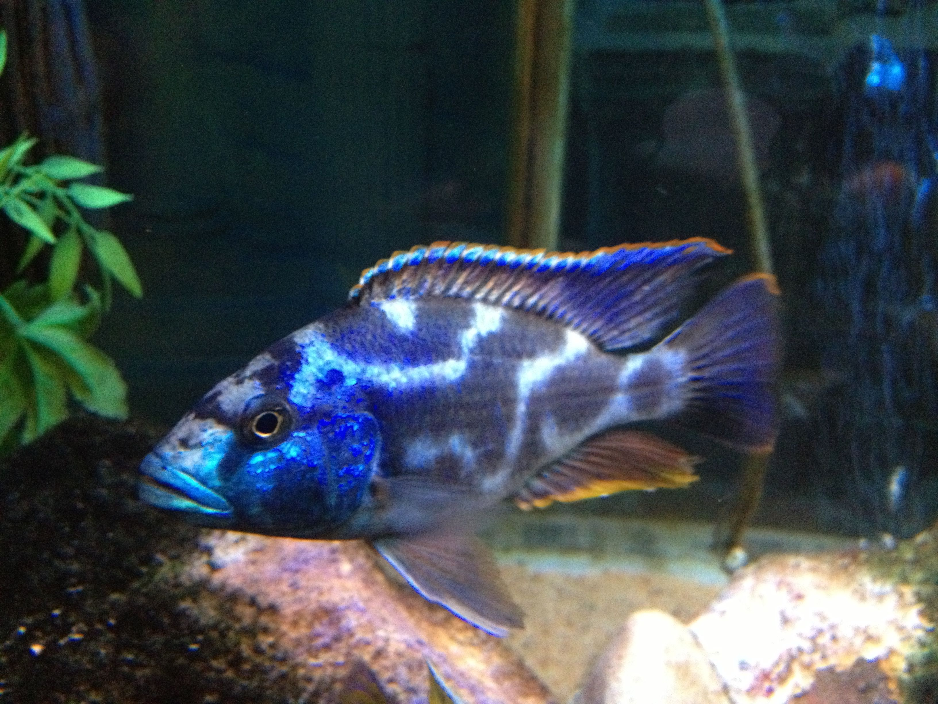 Nimbochromis livingston ii cichlid i just gave this fellow for African cichlid fish