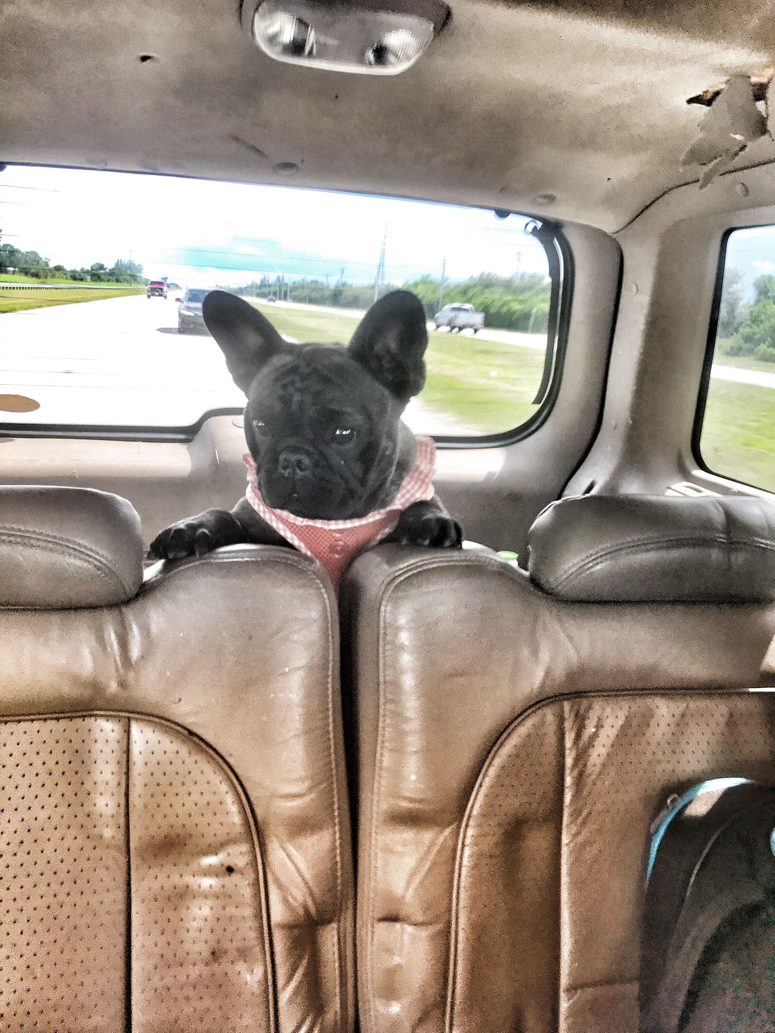 Lola Roadtrip Frenchbulldogwellness French Bulldog Bulldog