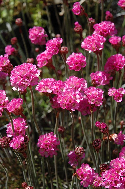 Vesuvius Sea Thrift Features Beautiful
