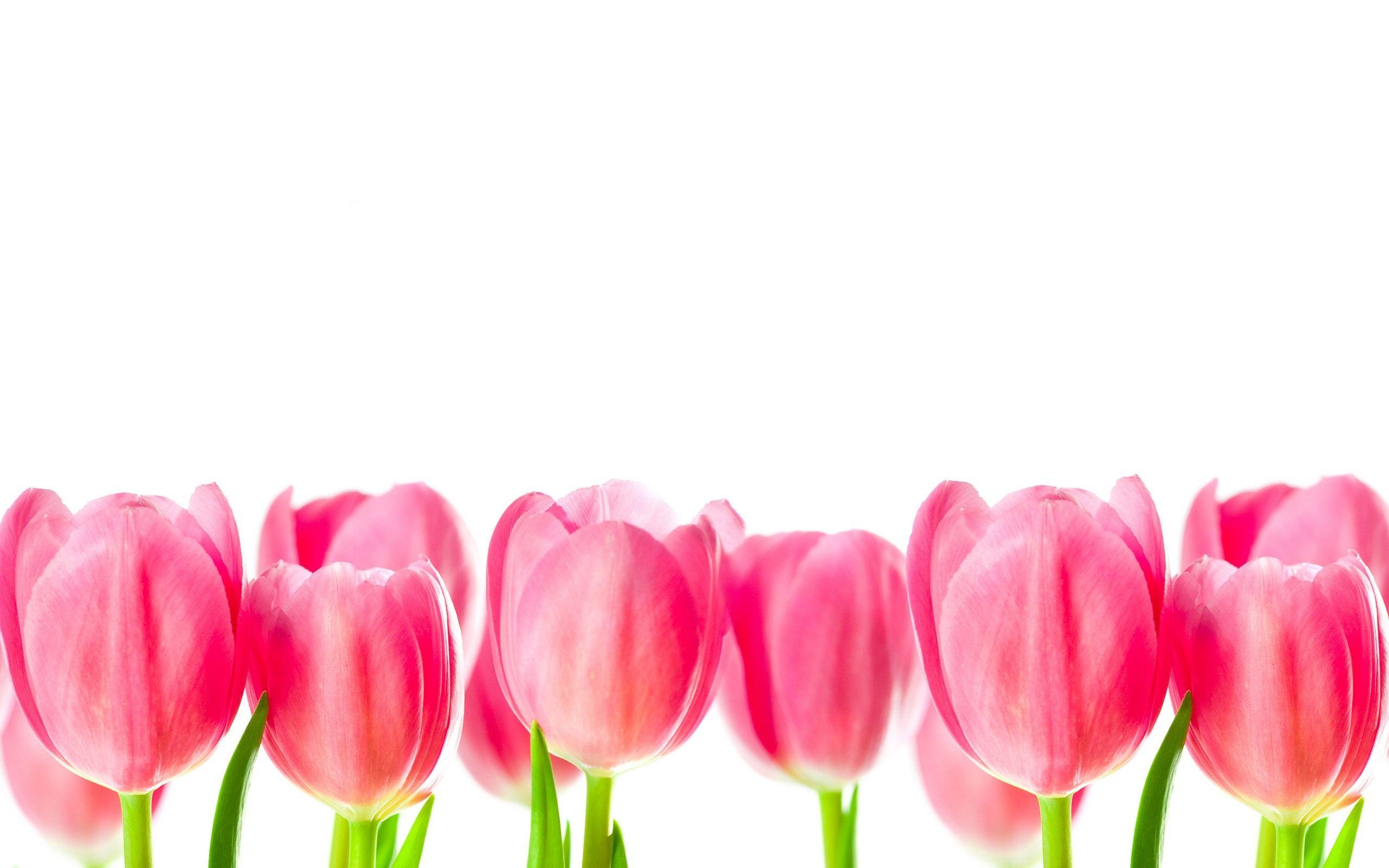 Pink Tulips Fondos De Pantalla Tulipanes Fondos Imagenes De Fondo