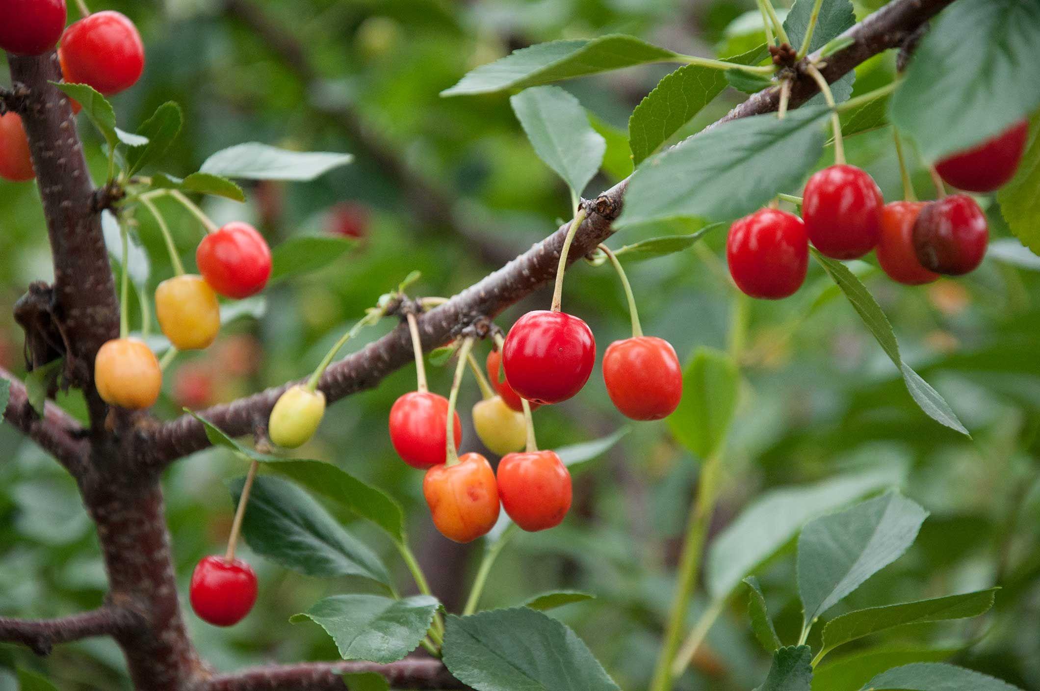 How To Grow Cherry Trees How To Grow Cherries Growing Cherry Trees Cherry Seeds