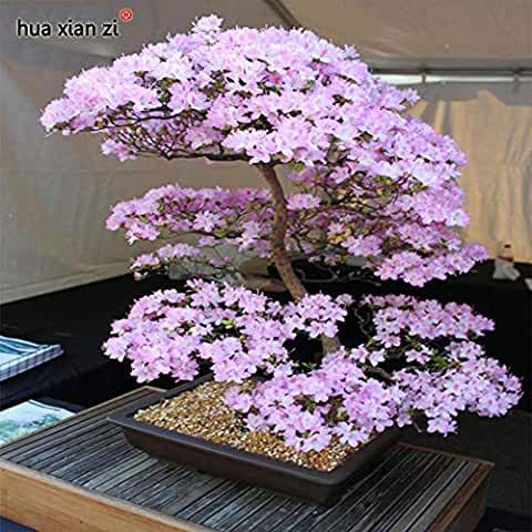 Amazon Co Uk Cherry Flower Tree Bonsai Plants Bonsai Tree Types Bonsai Garden
