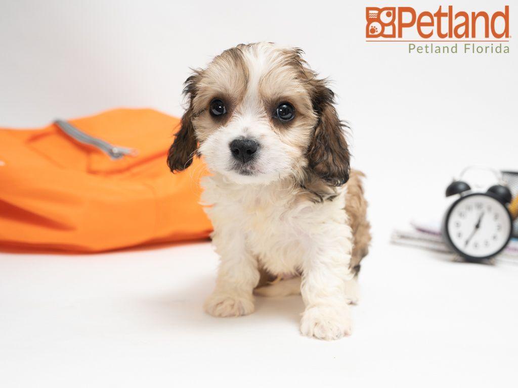 Puppies For Sale Puppy Friends Cavachon Puppies